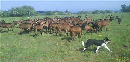 074 Chèvre de Russilly