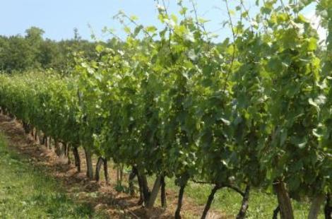 Vignoble de Flavigny