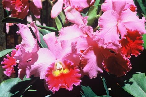 gros plan d'orchidée cattleya