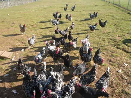 Poules Gournay