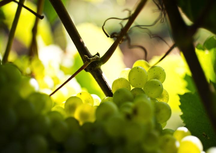 Grappe de raisin - armellephotographe.com
