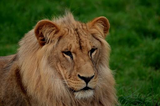 Lion - PARC DE L''AUXOIS©PARC DE L''AUXOIS