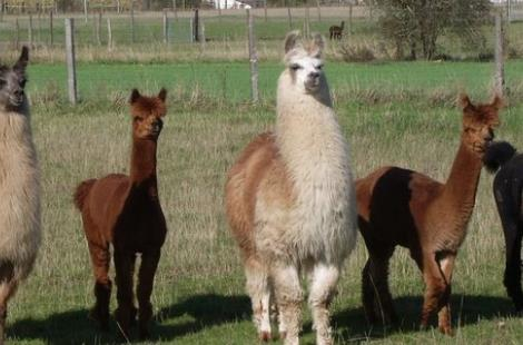 étalons lamas et alpagas