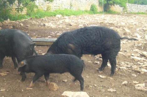 cochon gascon