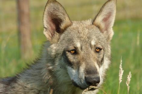 Chiens-loups de Saarloos