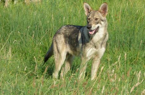 Chiens-loups de Saarloos5