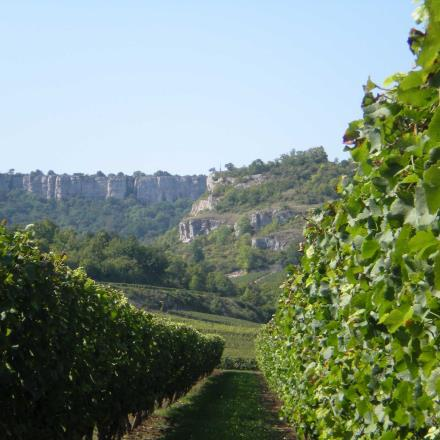 Vignes du Domaine Thibault-Fevre à Saint-Romain