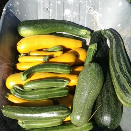 courgettes-Tresnay